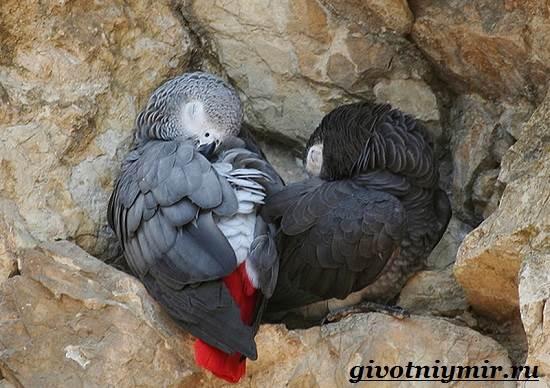 Попугай-Жако-Цена-Жако-Как-ухаживать-за-попугаем-Жако-13
