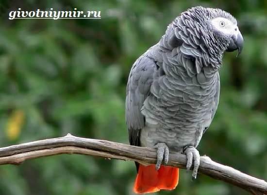 Попугай-Жако-Цена-Жако-Как-ухаживать-за-попугаем-Жако-3