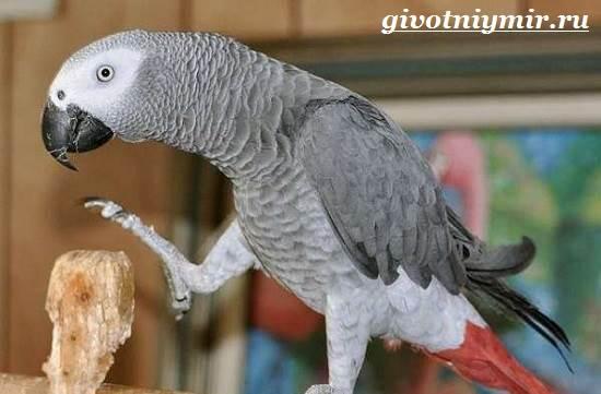 Попугай-Жако-Цена-Жако-Как-ухаживать-за-попугаем-Жако-4