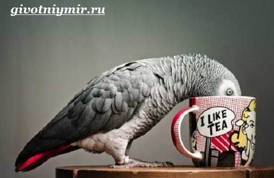 Попугай-Жако-Цена-Жако-Как-ухаживать-за-попугаем-Жако-5