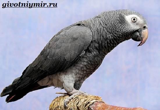 Попугай-Жако-Цена-Жако-Как-ухаживать-за-попугаем-Жако-6