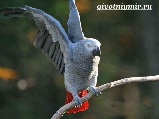 Попугай-Жако-Цена-Жако-Как-ухаживать-за-попугаем-Жако-9