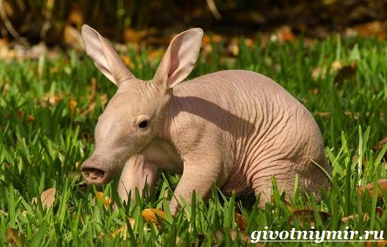 Трубкозуб-Среда-обитания-и-особенности-трубкозуба-1