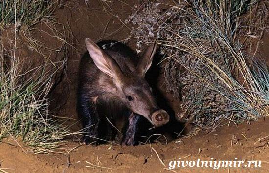 Трубкозуб-Среда-обитания-и-особенности-трубкозуба-4