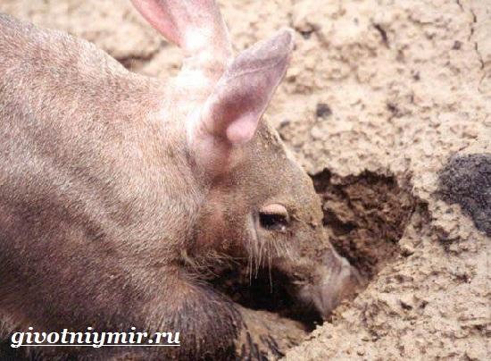 Трубкозуб-Среда-обитания-и-особенности-трубкозуба-6