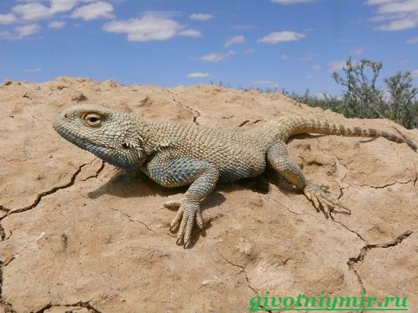 Агама-Среда-обитания-и-образ-жизни-агамы-10