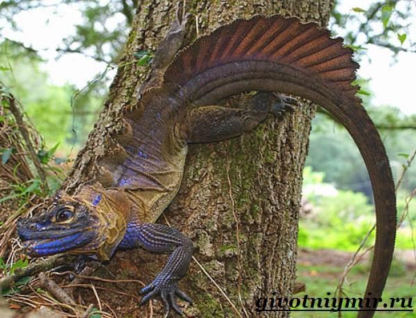 Агама-Среда-обитания-и-образ-жизни-агамы-2