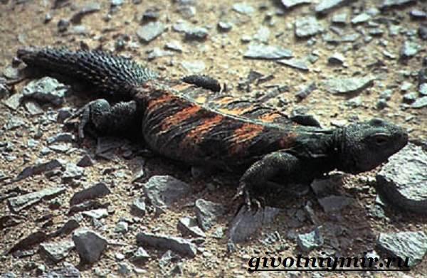 Агама-Среда-обитания-и-образ-жизни-агамы-6