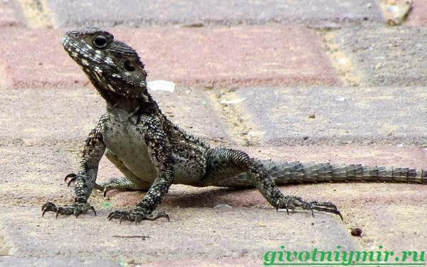 Агама-Среда-обитания-и-образ-жизни-агамы-7