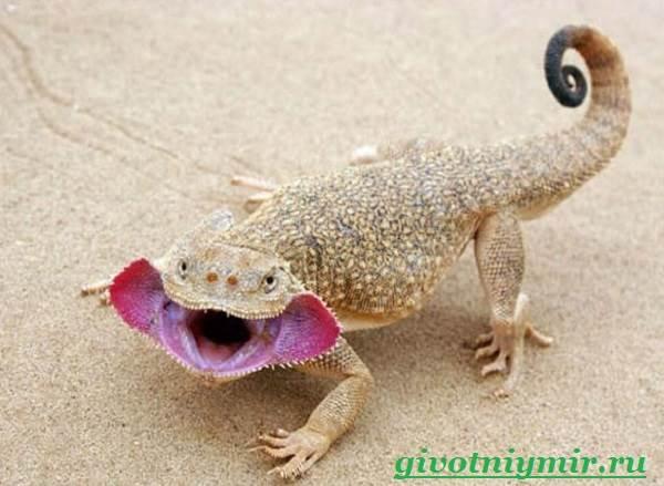 Агама-Среда-обитания-и-образ-жизни-агамы-8