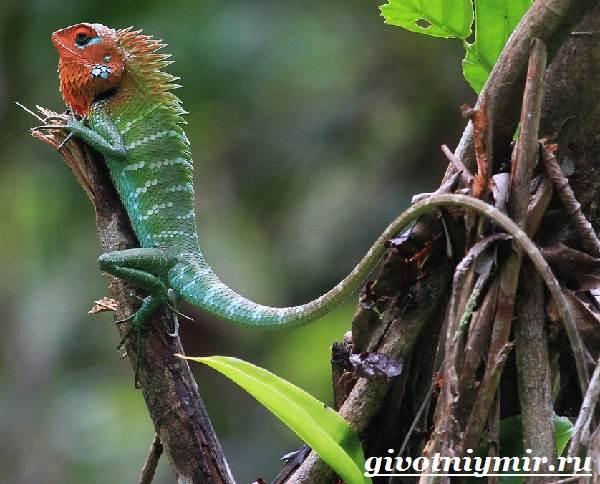 Агама-Среда-обитания-и-образ-жизни-агамы-9