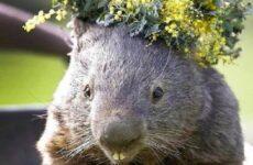 Вомбат животное. Описание вомбата. Жизнь и среда обитания вомбата
