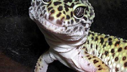 Геккон. Среда обитания и образ жизни геккона