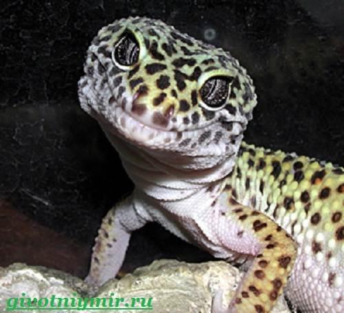 Геккон-Среда-обитания-и-образ-жизни-геккона-1