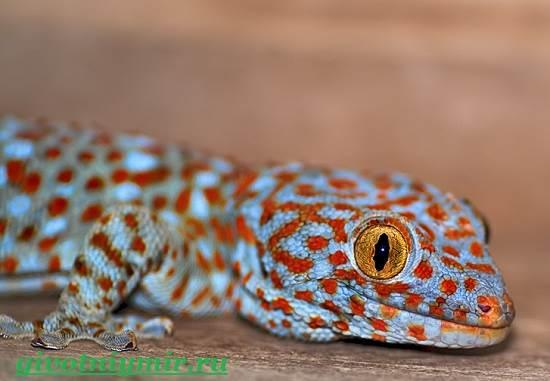 Геккон-Среда-обитания-и-образ-жизни-геккона-2