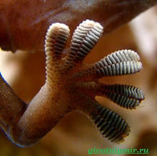 Геккон-Среда-обитания-и-образ-жизни-геккона-4
