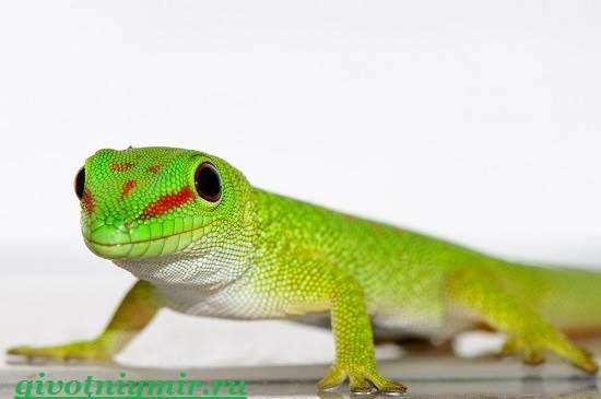 Геккон-Среда-обитания-и-образ-жизни-геккона-5