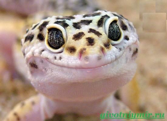 Геккон-Среда-обитания-и-образ-жизни-геккона-6