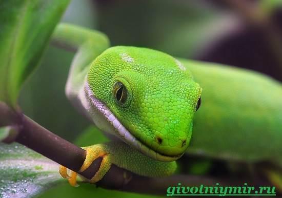Геккон-Среда-обитания-и-образ-жизни-геккона-7