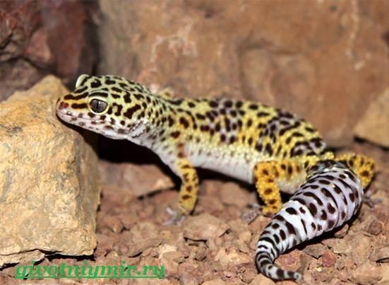 Геккон-Среда-обитания-и-образ-жизни-геккона-9