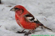 Клест птица. Описание и особенности птицы клест