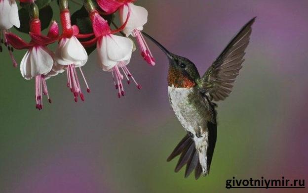 Птица-колибри-Среда-обитания-и-особенности-колибри-11