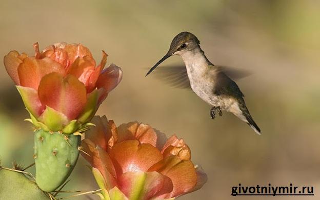 Птица-колибри-Среда-обитания-и-особенности-колибри-2