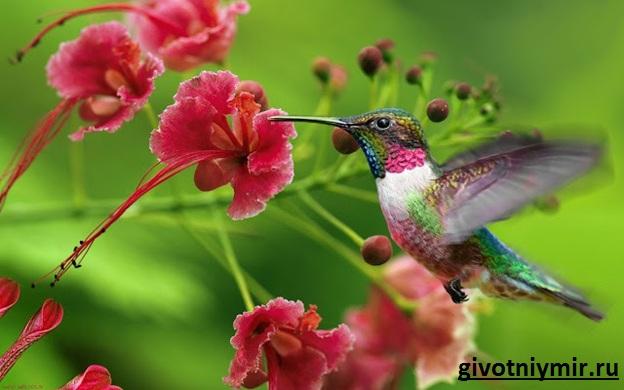 Птица-колибри-Среда-обитания-и-особенности-колибри-3