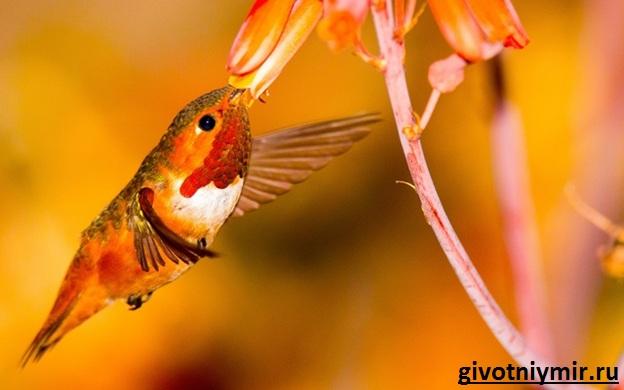 Птица-колибри-Среда-обитания-и-особенности-колибри-4