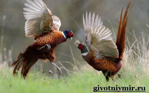 Фазан. Среда обитания и особенности фазана | Животный мир