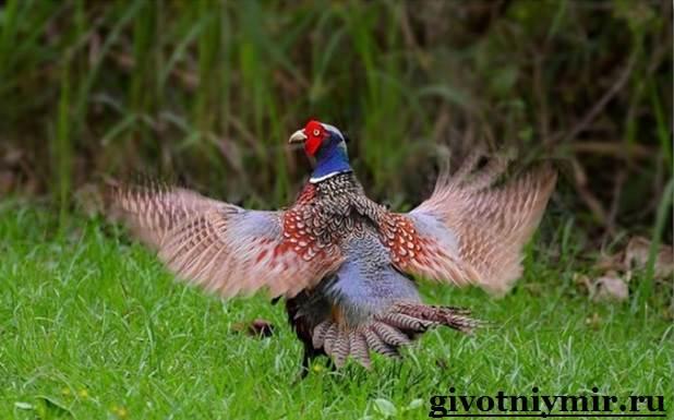 Фазан-Среда-обитания-и-особенности-фазана-4