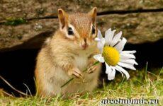 Бурундук. Описание, особенности и среда обитания бурундуков
