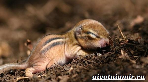 Бурундук-Описание-особенности-и-среда-обитания-бурундуков-11