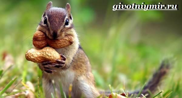 Бурундук-Описание-особенности-и-среда-обитания-бурундуков-4