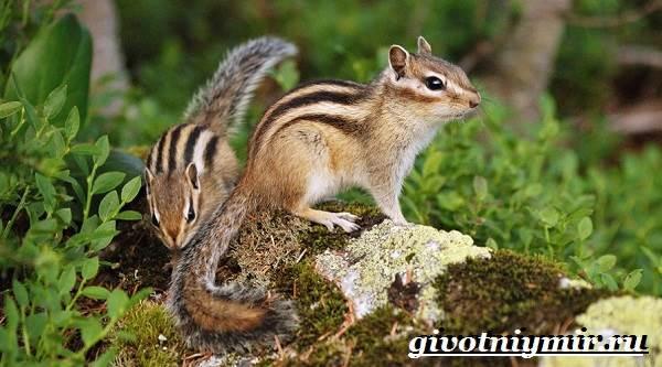 Бурундук-Описание-особенности-и-среда-обитания-бурундуков-6