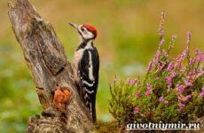 Дятел птица. Особенности и среда обитания дятла