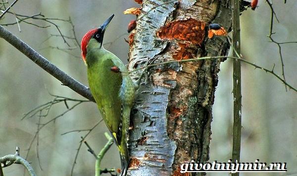 Дятел-Особенности-и-среда-обитания-дятла-12