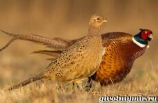Фазан. Среда обитания и особенности фазана
