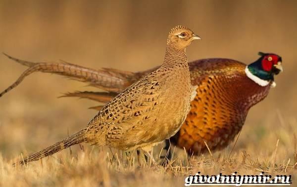 Фазан: 90 фото, особенности и виды размножения птицы в домашних условиях