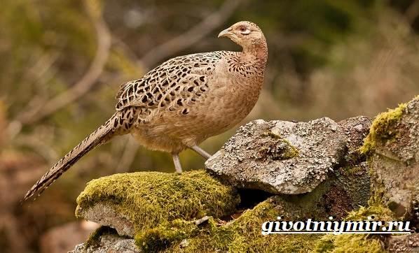 Фазан-Среда-обитания-и-особенности-фазана-16