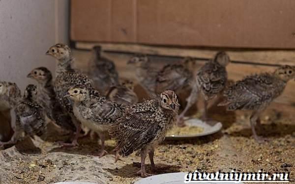 Фазан-Среда-обитания-и-особенности-фазана-17