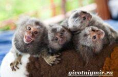 Игрунка животное. Описание и образ жизни обезьянок игрунок