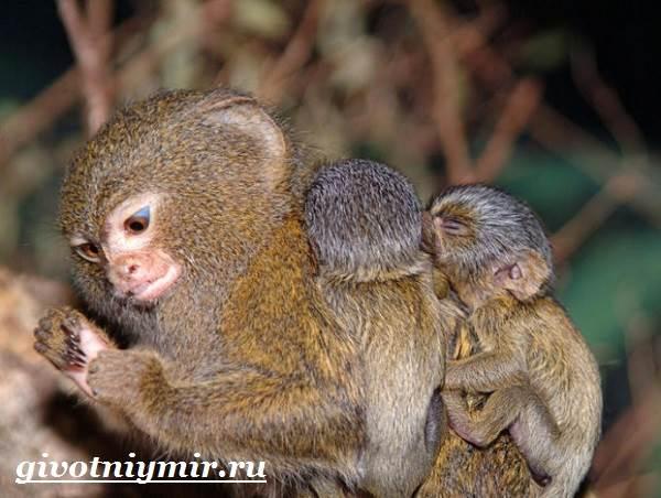 Игрунка-Описание-и-образ-жизни-обезьянок-игрунок-5