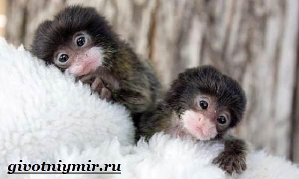 Игрунка-Описание-и-образ-жизни-обезьянок-игрунок-6