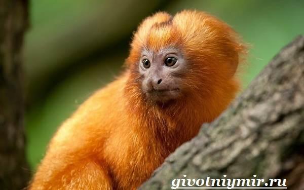 Игрунка-Описание-и-образ-жизни-обезьянок-игрунок-7