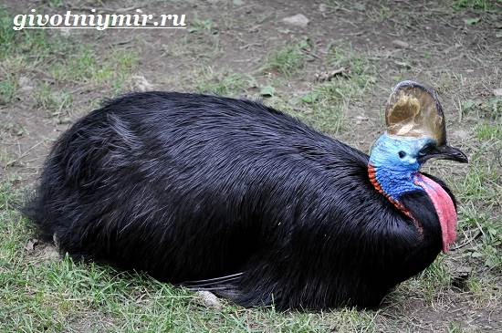 Казуар-это-кто-Описание-казуара-Среда-обитания-казуара-5