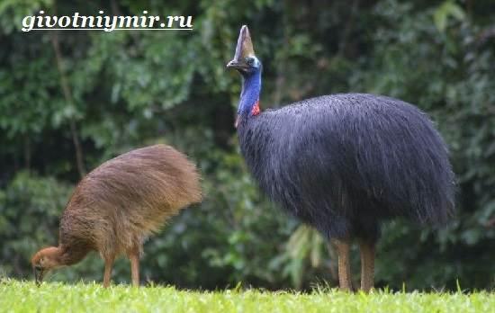 Казуар-это-кто-Описание-казуара-Среда-обитания-казуара-7