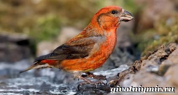 Клест-Описание-и-особенности-птицы-клест-1