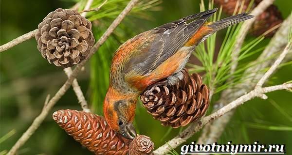 Клест-Описание-и-особенности-птицы-клест-3