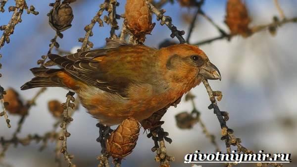 Клест-Описание-и-особенности-птицы-клест-4